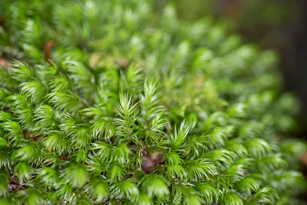 青木ヶ原樹海の苔
